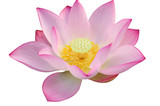 Majestic Lotus flower