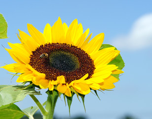 Sonnenblume blauer Himmel - Sunflower blue Sky