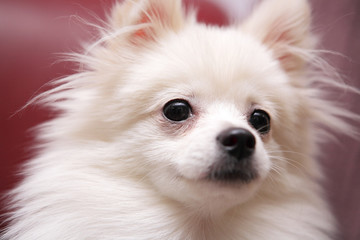 dog, white Pomeranian