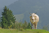 cow on mountains