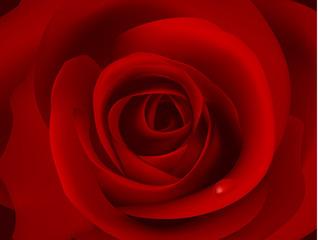 Macro image of dark red rose with water droplet. Vector.