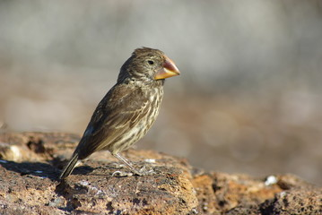 Genovesa Ground Finch