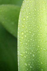 Water Droplets on Leaf 1
