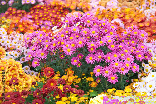 Colorful chrysanthemums growing in the garden