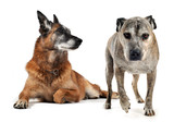 Fototapety vieux chiens