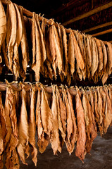 Dried tobacco leaves in the store