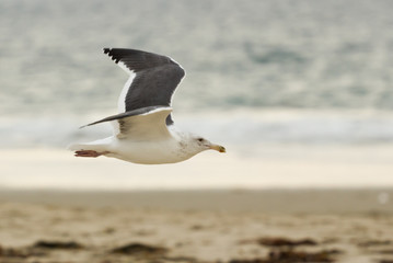Seagull gliding by the beach