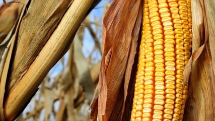 Yellow corn