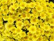 yellow chrysanthemum flowers background