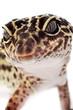 Gecko close up