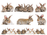 set of brown baby rabbits