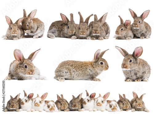 set of brown baby rabbits