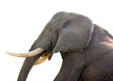 elephant side view close up