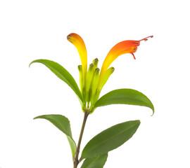 Lipstick plant (Aeschynanthus speciosus)