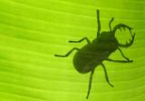 insecte goliath sur feuille de bananier poster