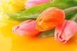 Many colorful tulips on the color  background