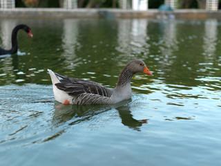 patos Parque Eduardo VII