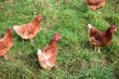 Free range chickens outdoors in farm field
