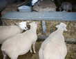 Pregnant sheep feeding