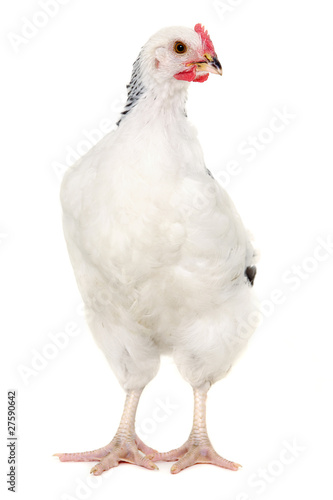 Foto op Canvas Kip Hen on white background