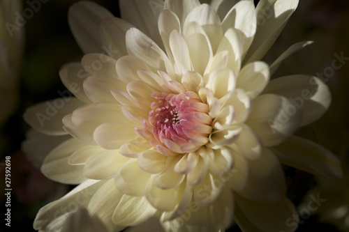 Chrysanthemum Anastasia White