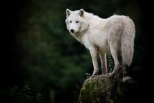 loup hurler mort