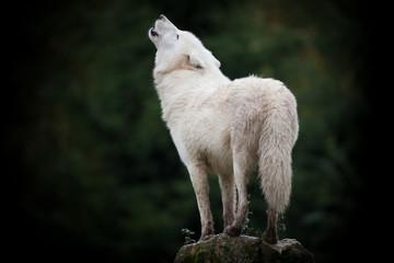 loup cri hurler