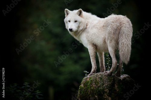 Foto op Canvas Wolf loup hurler mort