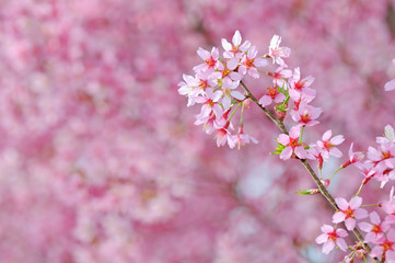Pink cherry blossoms detail
