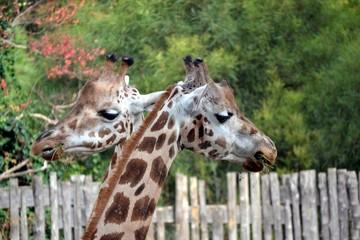 Giraffe che mangiano