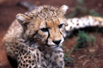 puppy of cheetah