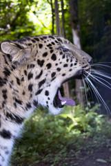 A leopard in Kenia - Africa