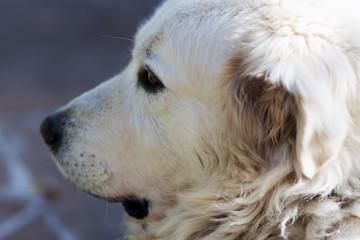 Dog shepherdesses of Abruzzo