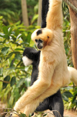 Two Northern White-cheeked Gibbon are hanging on a tree