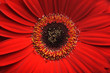 Beautiful red gerber flower part macro studio shot