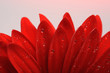 Beautiful red gerber flower part macro studio shot with wet wate