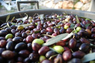 Récolte des olives