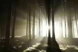 Fototapety Sunbeams enters coniferous stand on a misty autumn morning