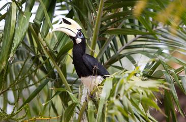A wild hornbill