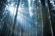 Sunbeams through the Forest