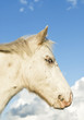 A beautiful white appaloosa foal in profile