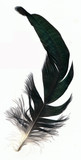 Rooster tail feather