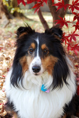 Female tricolor Shetland Sheepdog in Autumn
