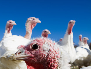 sinister turkey
