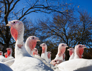 Farm turkeys