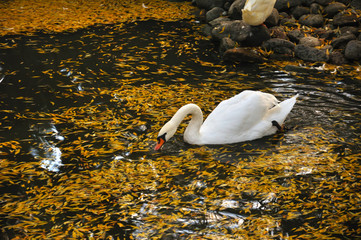 One swan floats in pond with yellow leaves and search for a feed