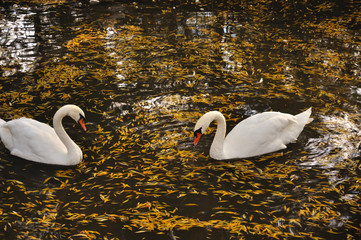 Pair of swans in a lake with yellow leaves search for a feed