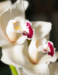 cymbidium orchid flower in Keukenhof