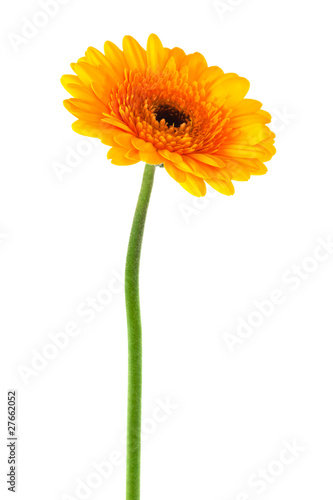 Papiers peints Gerbera yellow gerbera close up