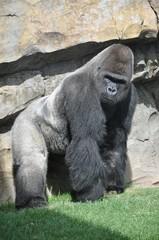Gorila en el Biopark de Valencia. España.